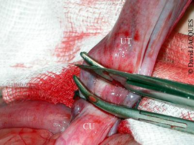 Ovariohystérectomie-10